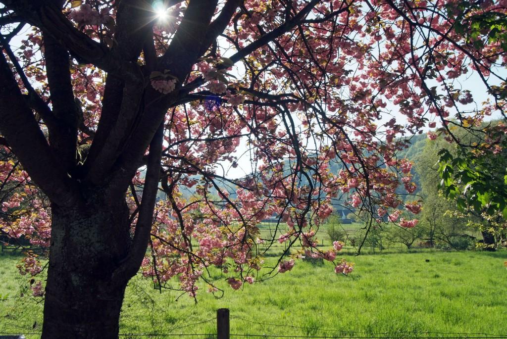 Kirschblüte im Bergischen Land, Foto: Wolfgang Winter-Peter